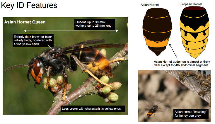 asian-hornet-key-identifying-markers